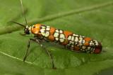 Superfamily Yponomeutoidea - Ermine Moths & kin