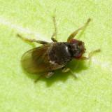 Sphaeroceridae: Limosininae