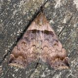 Ambiguous Moth, Hodges#8393 Lascoria ambigualis