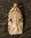 Agonopterix canadensis Hodges#0878, family Elachistidae