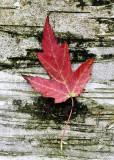 Red Leaf on Birch Tree