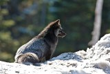 A Black Red Fox