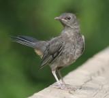 Catbird - juvenile