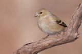 goldfinch 47