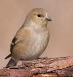goldfinch 48