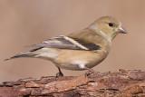 goldfinch 49