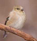 goldfinch 50