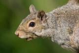 squirrel 20