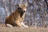 mangy coyote 1