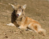mangy coyote 3