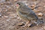 Cowbird - fledgling