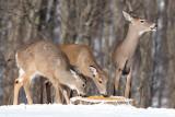 deer 17
