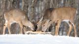 deer 18