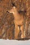 deer 22