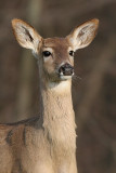 deer 30