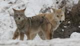 coyote 5
