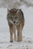 coyote 6