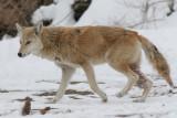 coyote 11