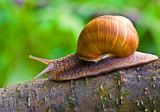 Roman Snail (1)