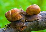 Roman Snail (3)