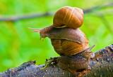 Roman Snail (5)