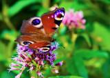European Peacock Butterfly