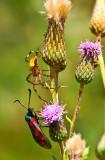 European garden spider & Six-spot Burnet Moth