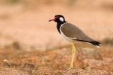 Nesting Record of Red Wattled Lapwing