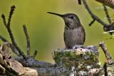 Baby Hummingbirds 2010