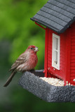 House Finch at FeederMay 8, 2010