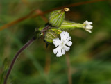 Vitblära (Silene latifolia)