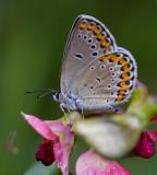 Kronärtsblåvinge (Plebejus argyrognomon), hona
