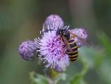 Skogsgeting (Dolichovespula sylvestris))