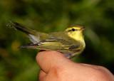 Wood Warbler (Phylloscopus sibilatrix) 2K+