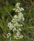 Vitmåra (Galium boreale)