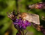 Vitfläckat gräsfly (Mythimna conigera)