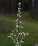 Gråbo (Artemisia vulgaris)