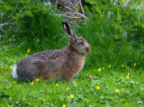 Brown Hare (Lepus europeaus)