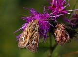 Allmänt gräsfly (Cerapteryx graminis)