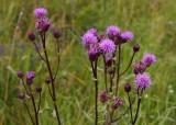 Åkertistel (Cirsium arvense)