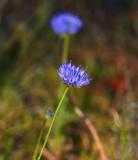 Blåmunkar (Jasione montana)