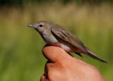 Garden Warbler (Sylvia borin), 1K