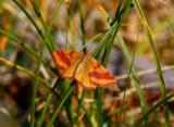 Allmän purpurmätare (Lythria cruentaria)