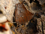 Tropical Leafwing (Anaea aidea)