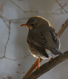 Black-throated Thrush (Turdus ruficollis atrogularis)