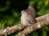 Inca Dove (Columbina inca)