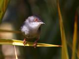 Sardinian Warbler (Sylvia melanocephala)