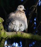 Oriental Turtle Dove (Streptopelia orientalis)