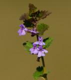 Jordreva (Glechoma hederacea)