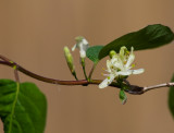 Skogstry (Lonicera xylosteum)
